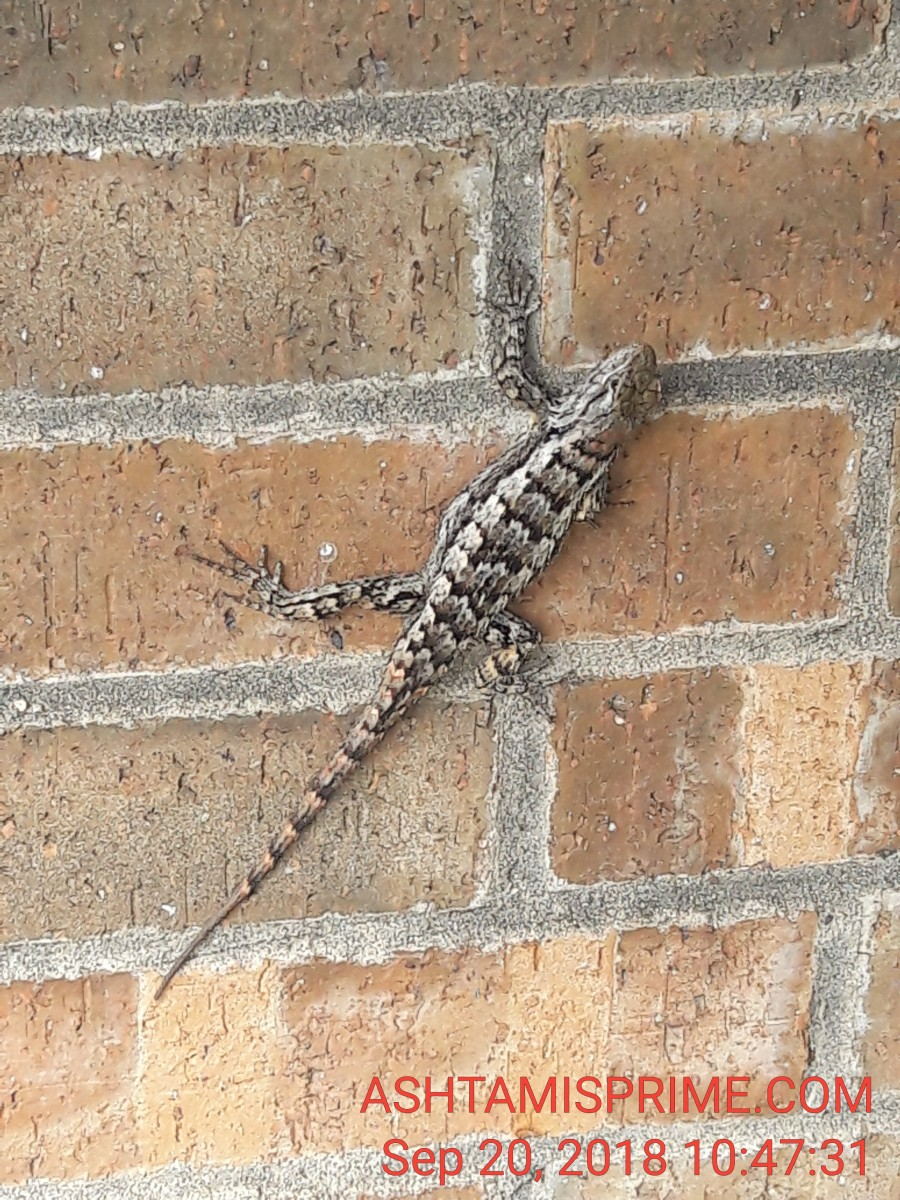 A lizard friend visited me today